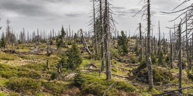 Mujprezident, kurovec, bavorsky les